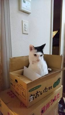 soku_34479.jpg :: みーちゃん ダンボール 大好き 動物 哺乳類 猫 ネコ
