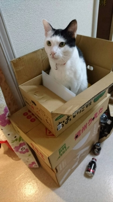 soku_34481.jpg :: みーちゃん ダンボール 大好き 動物 哺乳類 猫 ネコ