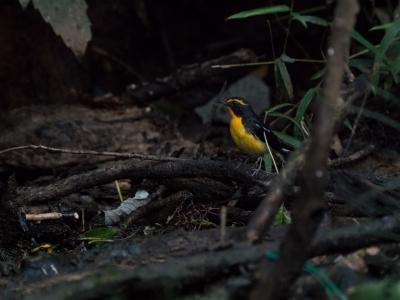 soku_34492.jpg :: 動物 鳥 野鳥 自然の鳥 キビタキ オス