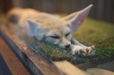 soku_34521.jpg :: 動物 哺乳類 狐 キツネ