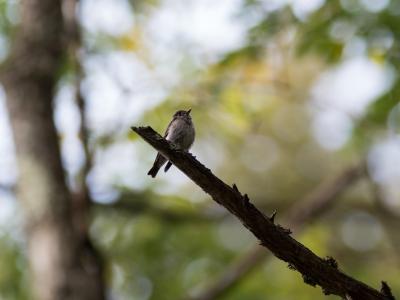 soku_34524.jpg :: 動物 鳥 野鳥 自然の鳥 サメビタキ