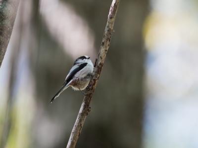 soku_34525.jpg :: 動物 鳥 野鳥 自然の鳥 エナガ