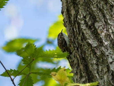 soku_34528.jpg :: 動物 鳥 野鳥 自然の鳥 キバシリ