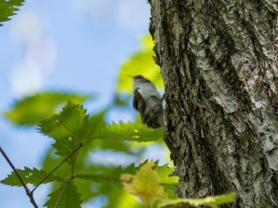 soku_34529.jpg :: 動物 鳥 野鳥 自然の鳥 キバシリ