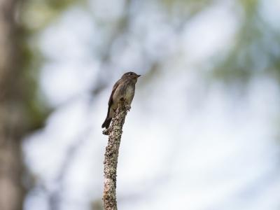 soku_34530.jpg :: 動物 鳥 野鳥 自然の鳥 サメビタキ