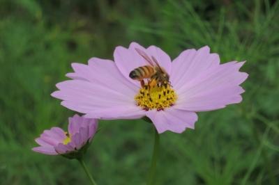 soku_34539.jpg :: 植物 花 秋桜 コスモス 動物 虫 昆虫 蜂 ハチ はちみつ集め マクロ
