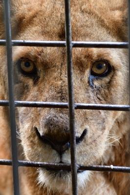 soku_34549.jpg :: 動物 哺乳類 ライオン 富士サファリパーク