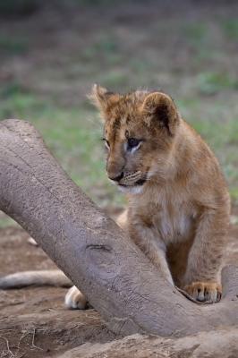 soku_34550.jpg :: 動物 哺乳類 ライオン 富士サファリパーク