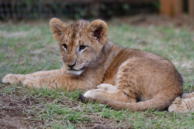 soku_34551.jpg :: 動物 哺乳類 ライオン 富士サファリパーク