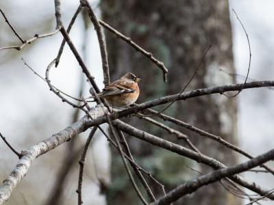 soku_34563.jpg :: 動物 鳥 野鳥 自然の鳥 アトリ