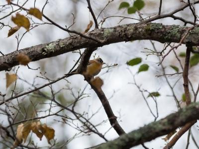 soku_34564.jpg :: 動物 鳥 野鳥 自然の鳥 アトリ