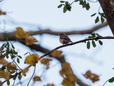 soku_34565.jpg :: 動物 鳥 野鳥 自然の鳥 ムギマキ