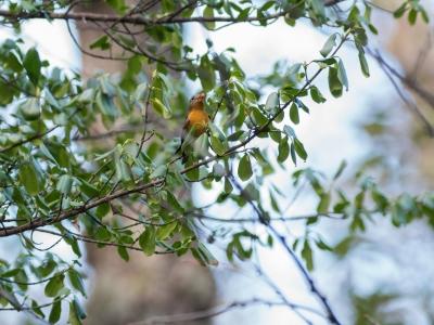 soku_34566.jpg :: 動物 鳥 野鳥 自然の鳥 ムギマキ