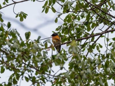 soku_34567.jpg :: 動物 鳥 野鳥 自然の鳥 ムギマキ