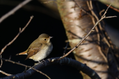 soku_34596.jpg :: 動物 鳥 野鳥 自然の鳥 キビタキ