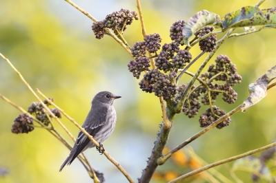 soku_34597.jpg :: 動物 鳥 野鳥 自然の鳥 エゾビタキ