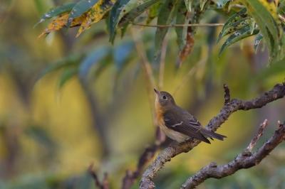 soku_34599.jpg :: 動物 鳥 野鳥 自然の鳥 ムギマキ