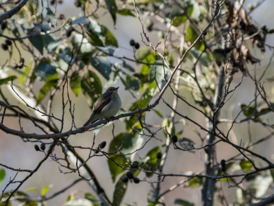 soku_34628.jpg :: 動物 鳥 野鳥 自然の鳥 キビタキ