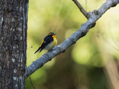 soku_34629.jpg :: 動物 鳥 野鳥 自然の鳥 キビタキ