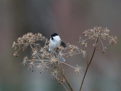 soku_34663.jpg :: 動物 鳥 野鳥 自然の鳥 コガラ
