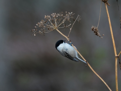 soku_34664.jpg :: 動物 鳥 野鳥 自然の鳥 コガラ