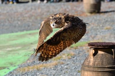 soku_34685.jpg :: 動物 鳥 掛川花鳥園 ベンガルワシミミズク