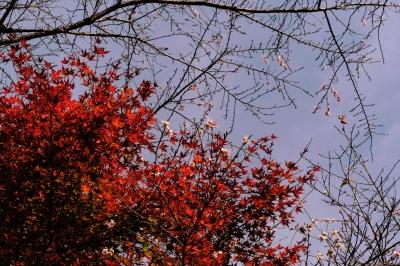 soku_34693.jpg :: 紅葉と四季桜 愛知県豊田市小原町