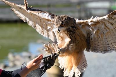 soku_34702.jpg :: 動物 鳥 掛川花鳥園 ベンガルワシミミズク