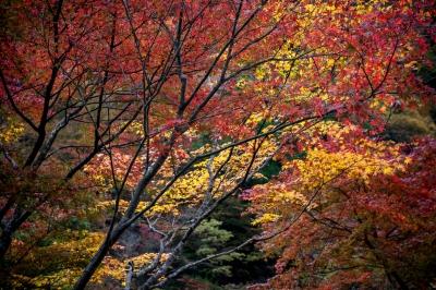 soku_34709.jpg :: 風景 自然 紅葉 赤い紅葉