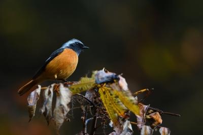 soku_34714.jpg :: 動物 鳥 野鳥 自然の鳥 ジョウビタキ