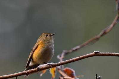 soku_34716.jpg :: 動物 鳥 野鳥 自然の鳥 ルリビタキ