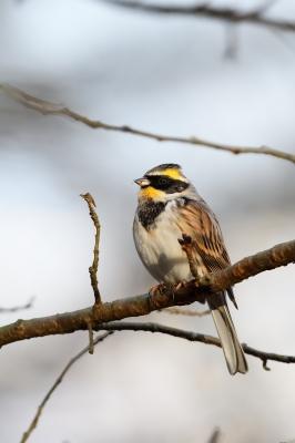 soku_34735.jpg :: 動物 鳥 野鳥 自然の鳥 ミヤマホオジロ