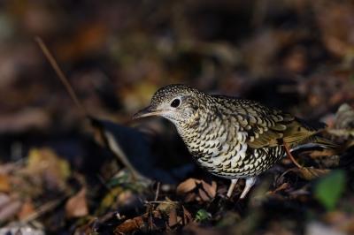 soku_34736.jpg :: 動物 鳥 野鳥 自然の鳥 トラツグミ