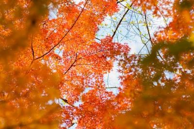 soku_34751.jpg :: 風景 自然 紅葉 赤い紅葉