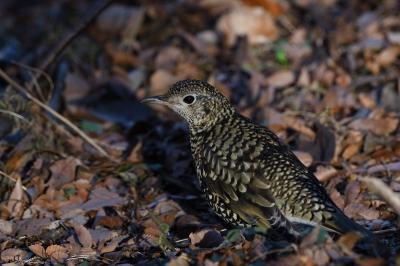 soku_34774.jpg :: 動物 鳥 野鳥 自然の鳥 トラツグミ