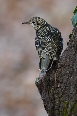 soku_34779.jpg :: 動物 鳥 野鳥 自然の鳥 トラツグミ