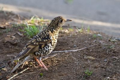 soku_34823.jpg :: 動物 鳥 野鳥 自然の鳥 トラツグミ