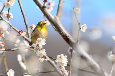 soku_34849.jpg :: 動物 鳥 野鳥 自然の鳥 メジロ 植物 花 梅 ウメ