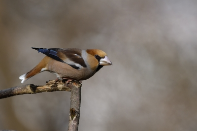 soku_34856.jpg :: 動物 鳥 野鳥 自然の鳥 シメ