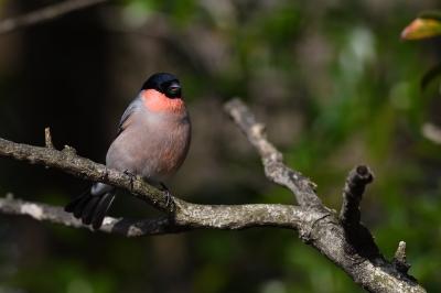 soku_34857.jpg :: 動物 鳥 野鳥 自然の鳥 ウソ