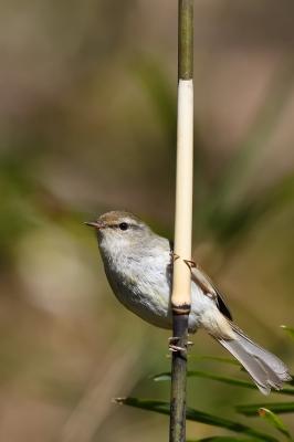 soku_34875.jpg :: 動物 鳥 野鳥 自然の鳥 ウグイス 鶯