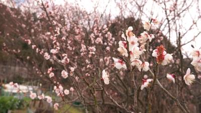 soku_34888.jpg :: 植物 花 桜 サクラ つぼみ