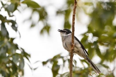 soku_34918.jpg :: 動物 鳥 野鳥 自然の鳥 リュウキュウサンショウクイ