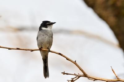 soku_34919.jpg :: 動物 鳥 野鳥 自然の鳥 リュウキュウサンショウクイ