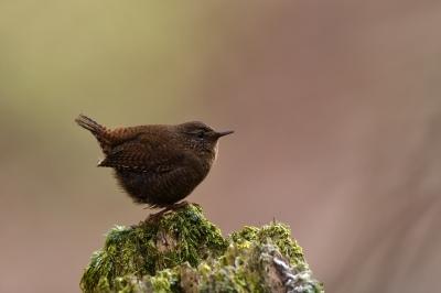 soku_34920.jpg :: 動物 鳥 野鳥 自然の鳥 ミソサザイ