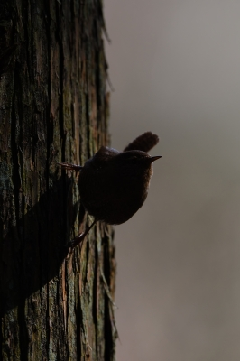 soku_34921.jpg :: 動物 鳥 野鳥 自然の鳥 ミソサザイ