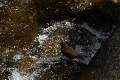 soku_34923.jpg :: 動物 鳥 野鳥 自然の鳥 カワガラス