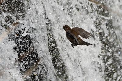 soku_34924.jpg :: 動物 鳥 野鳥 自然の鳥 カワガラス