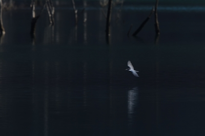soku_34935.jpg :: 動物 鳥 野鳥 自然の鳥 ヤマセミ