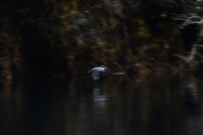 soku_34937.jpg :: 動物 鳥 野鳥 自然の鳥 ヤマセミ